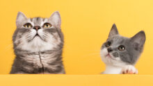 Опрос Purina про возраст кошки: когда кончается детство?