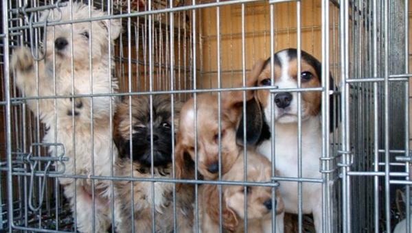В Великобритании принимают меры по борьбе с нелегальной продажей щенков