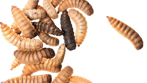 В США одобрено использование личинок мухи-солдатки в кормах для собак