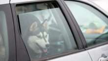 Такси для домашних животных появится в Пскове