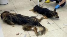 Волна отравлений собак кормом прокатилась по России