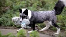 Содержание домашних лис осталось под запретом