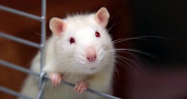 Россельхознадзор обнаружил ГМО в кормах для грызунов