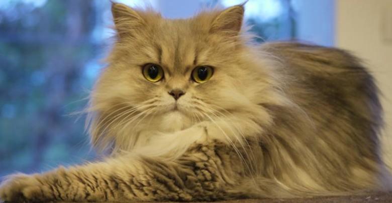 коронавирус выпотной фото кошек