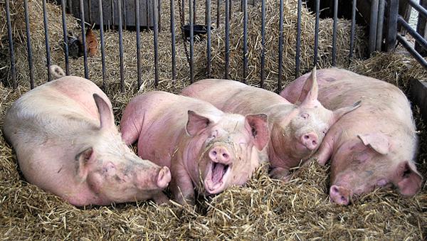 Более 800 свиней пришлось уничтожить из-за АЧС в Ярославской области