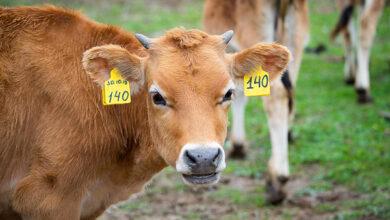 коровы с бирками