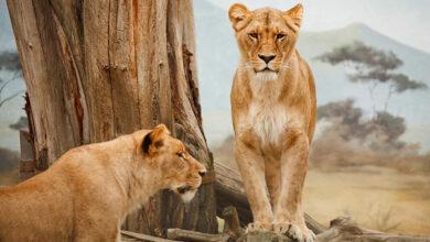 В Южной Америке львы подхватили COVID-19