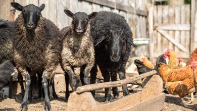 Очаги бруцеллёза животных обнаружены в Калмыкии