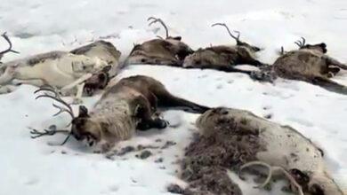 Падёж оленей на Камчатке объяснили голодом