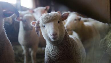 Шотландские овцы готовы есть борщевик Сосновского