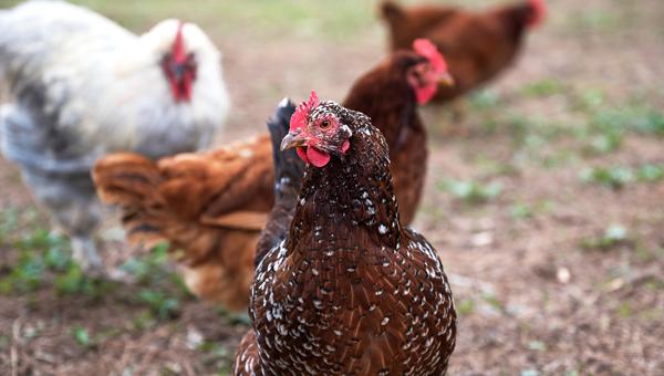 Великобритания объявлена страной, свободной от птичьего гриппа