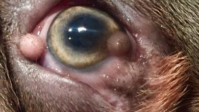 У четырёхмесячного французского бульдога по кличке Пеп обнаружили серьёзное врождённое заболевание роговицы.