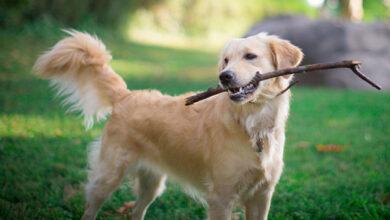 В США началось новое исследование биомаркеров, указывающих на рак у собак