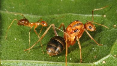На тихоокеанском атолле ради спасения птиц уничтожена популяция инвазивных муравьёв