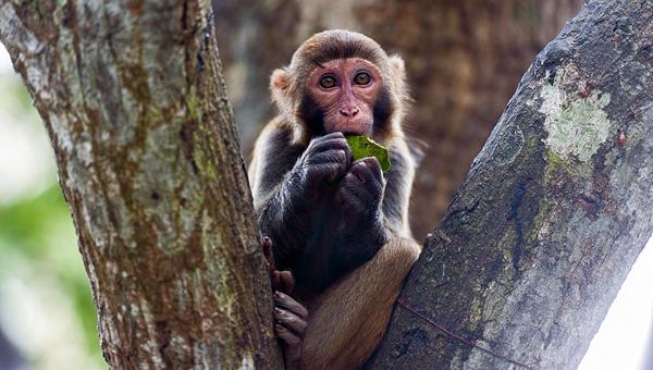 Китайский ветврач погиб от заражения B-вирусом обезьяны