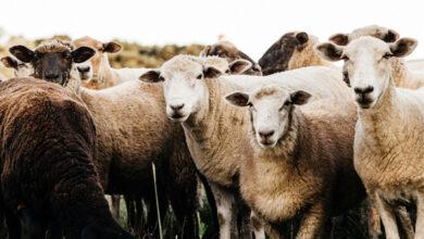 В Британии внимание овцеводов привлекли к эффективности антигельминтиков