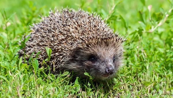 Британский парламент рассмотрит петицию о защите ежей
