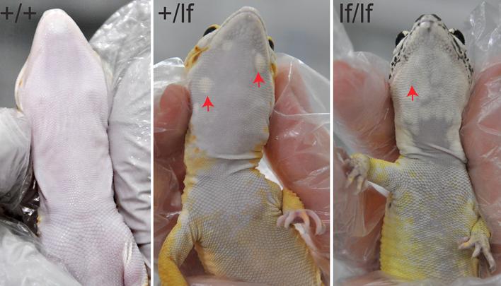 гекконы Frost Lemon меланома