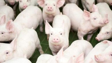 В Институте Рослина будут создавать генетически модифицированных свиней