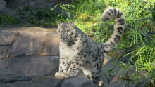 В зоопарке Сан-Диего ирбис заболел COVID-19