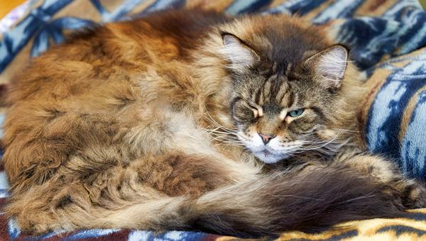 В Великобритании исследовали развитие деменции у кошек