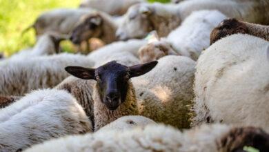 ветеринарные правила по листериозу разработаны в Минсельхозе