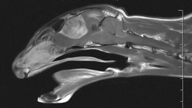 Британские врачи удалили 17-летнему коту огромную опухоль мозга