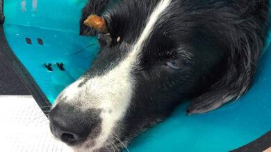В девонской ветклинике у собаки извлекли «бревно из глаза»