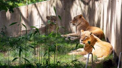 В Вашингтонском зоопарке львы и тигры заболели COVID-19