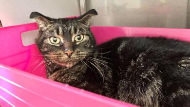 В Схидаме (Нидерланды) кот выжил, проведя 52 дня в запертом доме без пищи