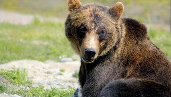 У скандинавских медведей стала реже встречаться устойчивость к антибиотикам