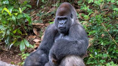 В зоопарке Атланты у горилл обнаружен Covid-19