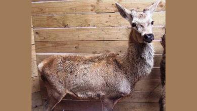 Разработан новый диагностический инструмент для обнаружения паратуберкулёза у оленей