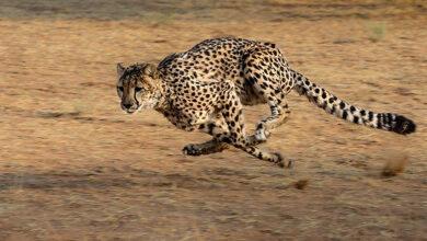 У гепардов в пустыне Намиб обнаружена сибирская язва