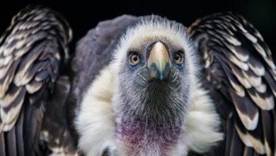 Учёные выяснили, что нимесулид смертельно опасен для птиц-падальщиков