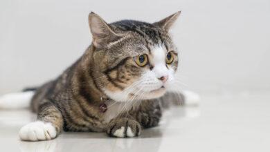 В Великобритании представили последние данные о вспышке панцитопении кошек