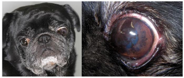 Самец мопса с билатеральной медиальной пигментацией роговицы и пигментным кератитом левого глаза