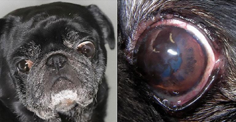 Пигментация роговицы при брахицефальном глазном синдроме у мопса