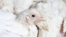 В Бельгии зафиксирован очаг высокопатогенного птичьего гриппа