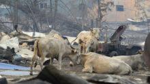 Пострадавшим в якутских пожарах животным помогут волонтёры