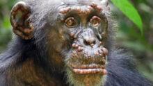 У шимпанзе впервые обнаружена проказа. Источник фото: Fabian H. Leendertz et al. / Nature, 2021