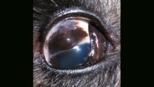 Ветврачи удалили две опухоли из глаза цвергшнауцера Альфи
