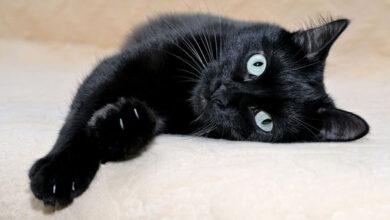 Ветврачи тестируют новый вид лечения рака у кошек