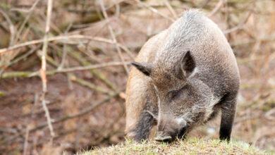 РСН предполагает, что дикие свиньи начали адаптироваться к вирусу АЧС