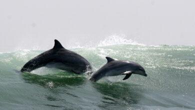 Депутаты ставят точку в промышленном отлове китов и дельфинов