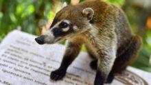 COVID-19 диагностирован у зоопаркового коати из Иллинойса