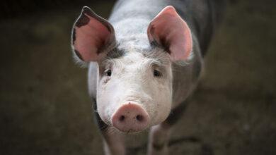 АЧС поразила свиней в Челябинской области