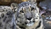 В США COVID-19 поразил бинтуронга, кота-рыболова, а также снежного барса