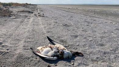 Массовая гибель птиц произошла на озере Сиваш