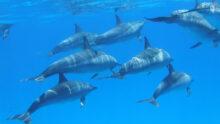 Власти Гавайев ввели запрет на плавание с местными дикими дельфинами